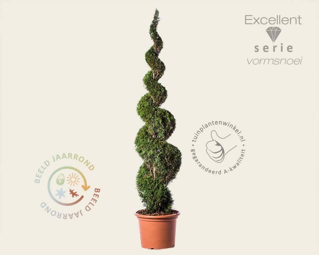 thuja occidentalis 39 smaragd 39 spiraal 200 220 cm westerse levensboom vertrouwd online kopen. Black Bedroom Furniture Sets. Home Design Ideas