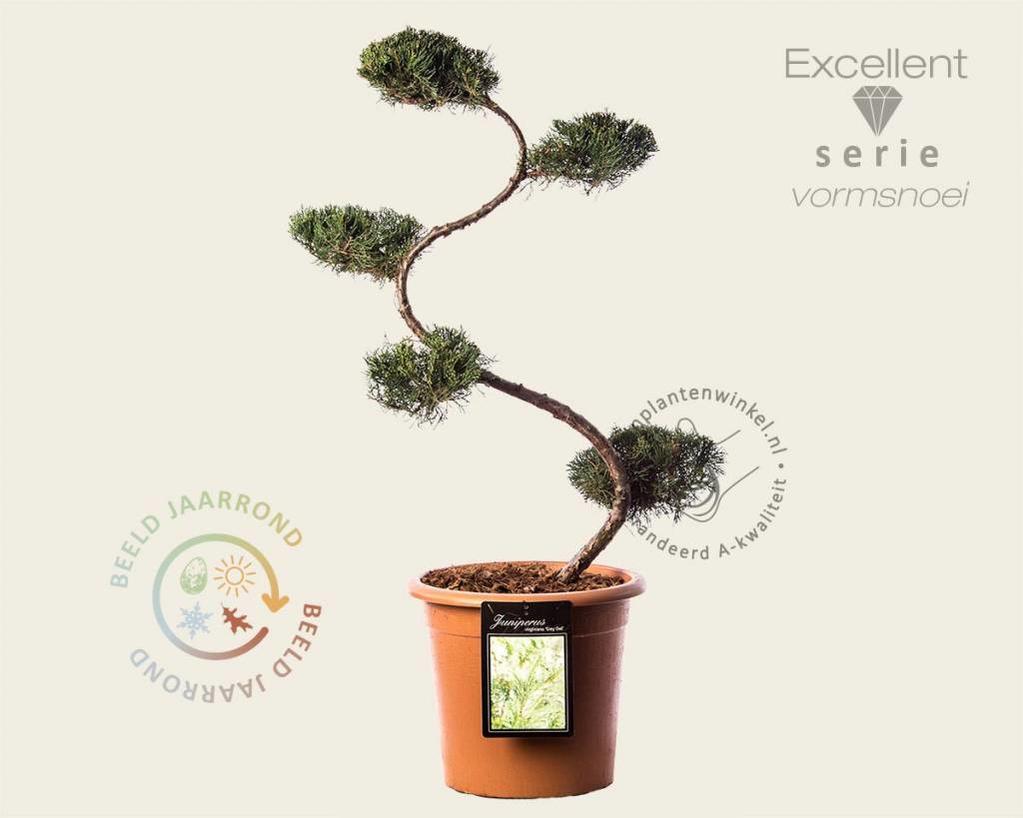 Juniperus virginiana 'Grey Owl' - bonsai- Excellent