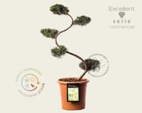 Juniperus virginiana 'Grey Owl' - bonsai - Excellent