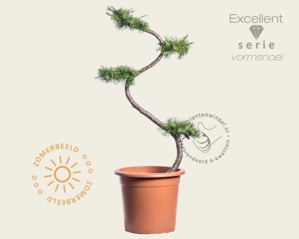 Larix kaempferi - bonsai - Excellent