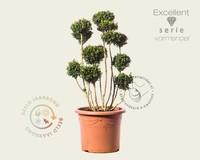Buxus sempervirens - bonsai - Excellent