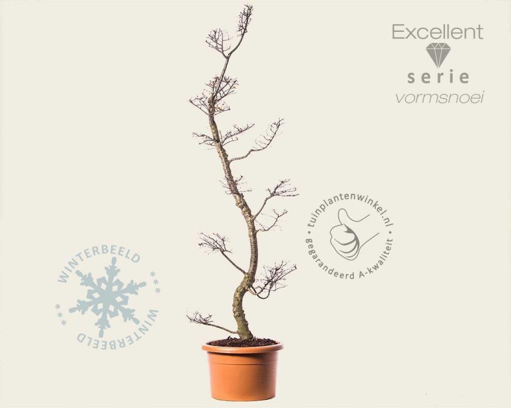 Nothofagus antarctica - bonsai - Excellent