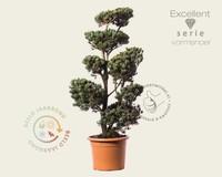 Pinus parviflora 'Ryu-ju' - bonsai - Excellent