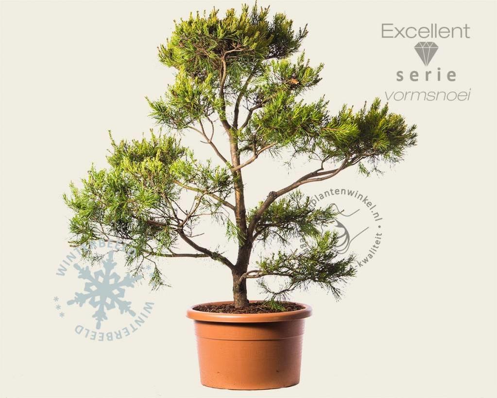 Pinus virginiana 'Water Gold' - bonsai - Excellent