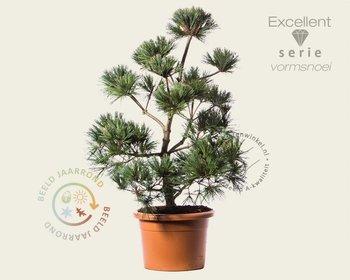 Pinus strobus 'Secrest' - bonsai - Excellent