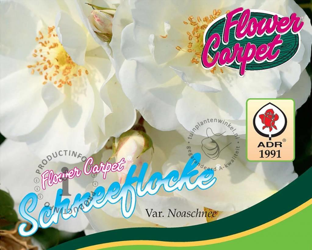 Rosa Flower Carpet 'Schneeflocke'