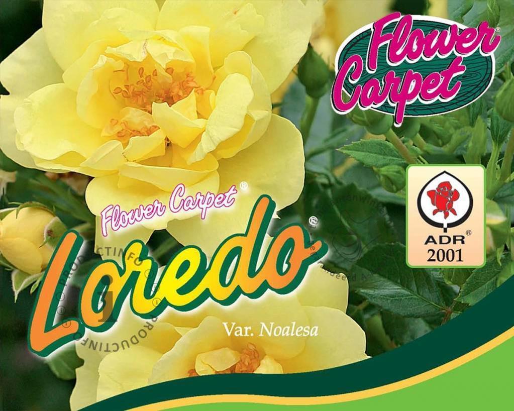 Rosa Flower Carpet 'Loredo'