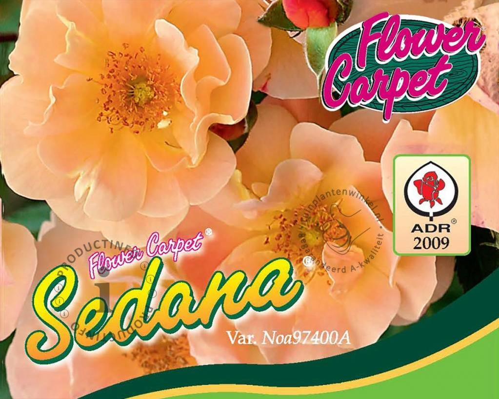 Rosa Flower Carpet 'Sedana'