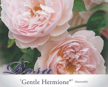 Rosa 'Gentle Hermione' - 090 cm stam