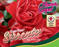 Rosa Flower Carpet 'Sorrento'