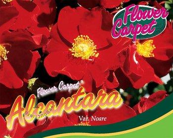 Rosa Flower Carpet 'Alcantara'