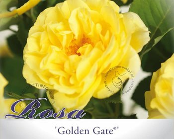 Rosa 'Golden Gate'