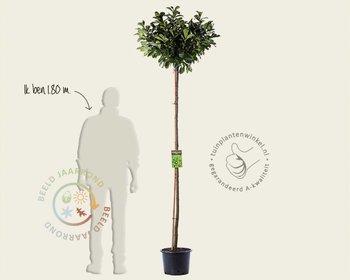 Prunus lauroceracus 'Etna' - 180 cm stam