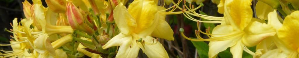 Azalea mollis