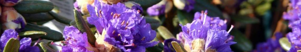 Dwergrhododendron