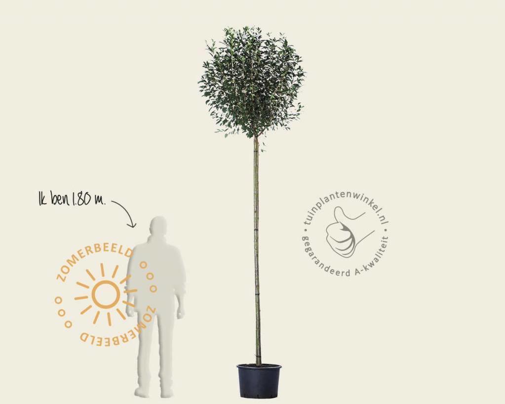 Prunus eminens 'Umbraculifera' - 225 cm stam