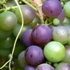 Alle druivenplanten