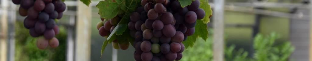 Pitloze druivenplanten