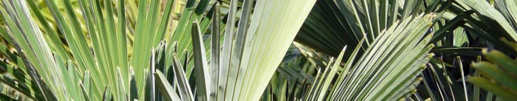 Alle palmbomen