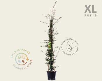 Pyracantha coccinea 'Saphyr Jaune' - XL
