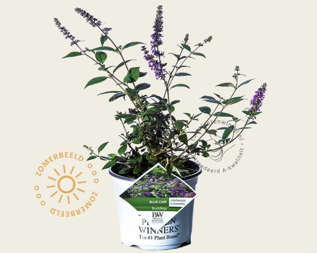 Buddleja davidii 'Blue Chip'