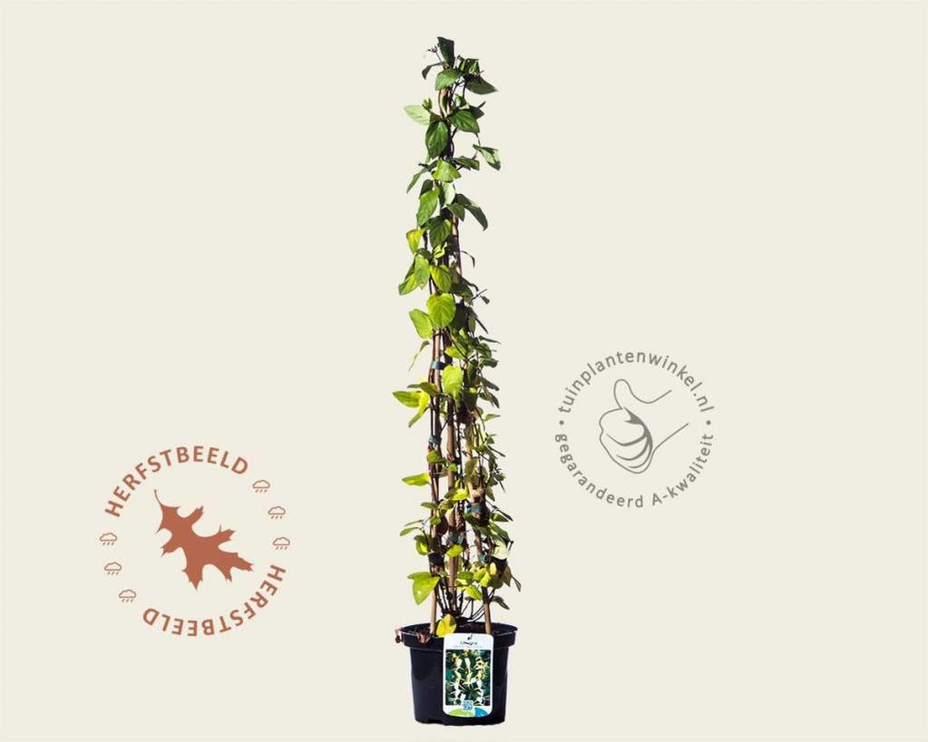Lonicera japonica 'Hall's Prolific'