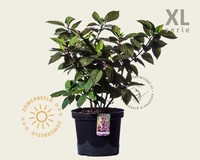 Hydrangea paniculata 'Wim's Red' - XL