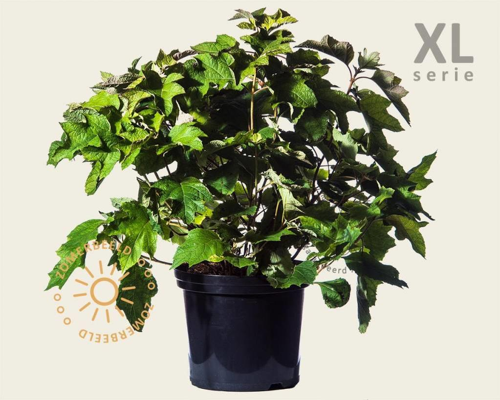 Hydrangea quercifolia 'Snowqueen' - XL