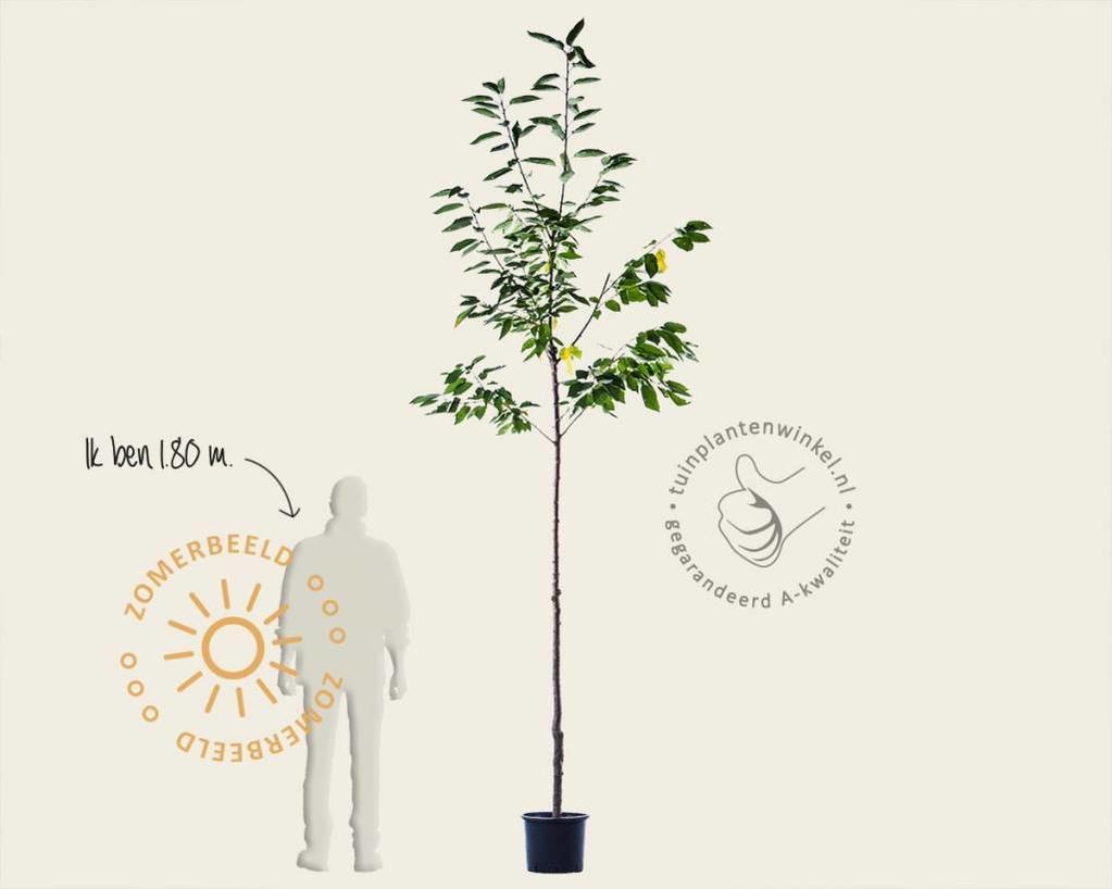 Prunus avium 'Udense Spaanse' - hoogstam