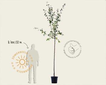 Prunus domestica 'Mirabelle de Nancy' - hoogstam
