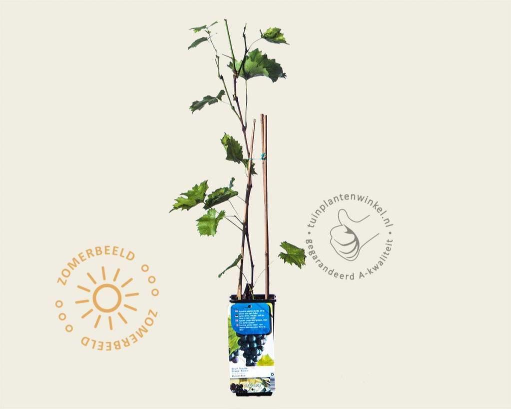 Vitis vinifera 'Muscat Blue'