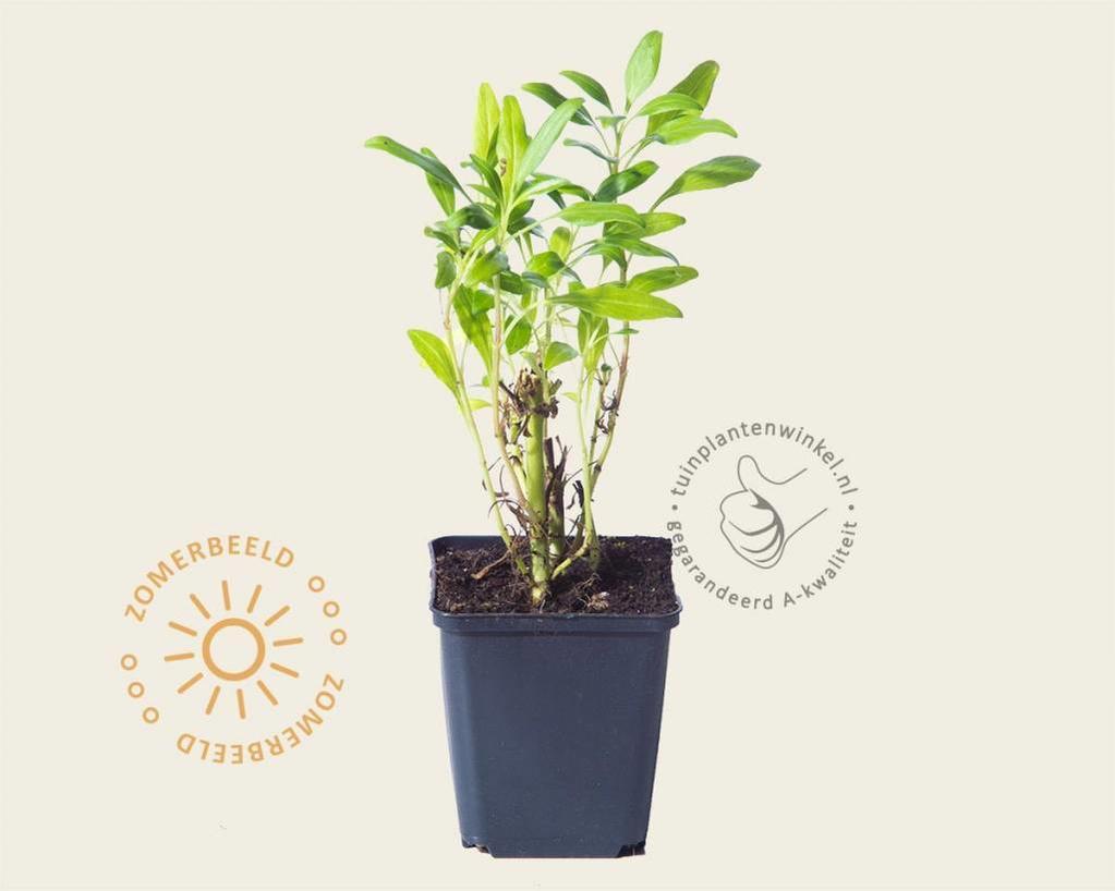 Centranthus ruber 'Alba'