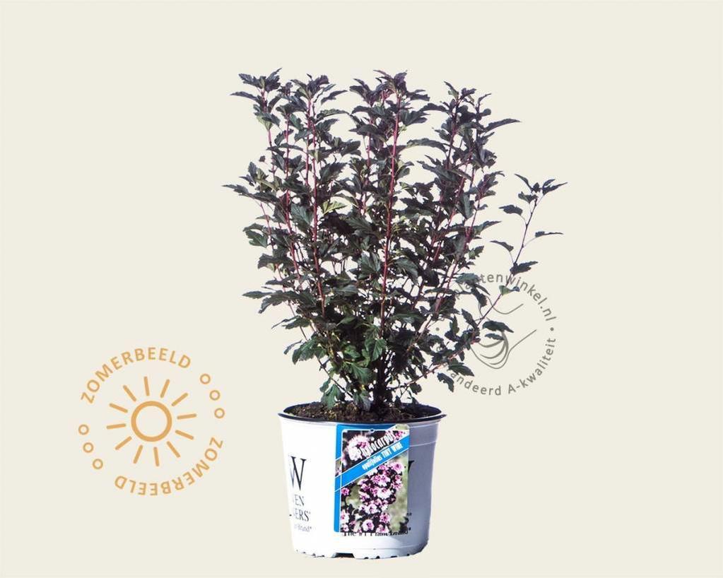 Physocarpus opulifolius 'Tiny Wine'