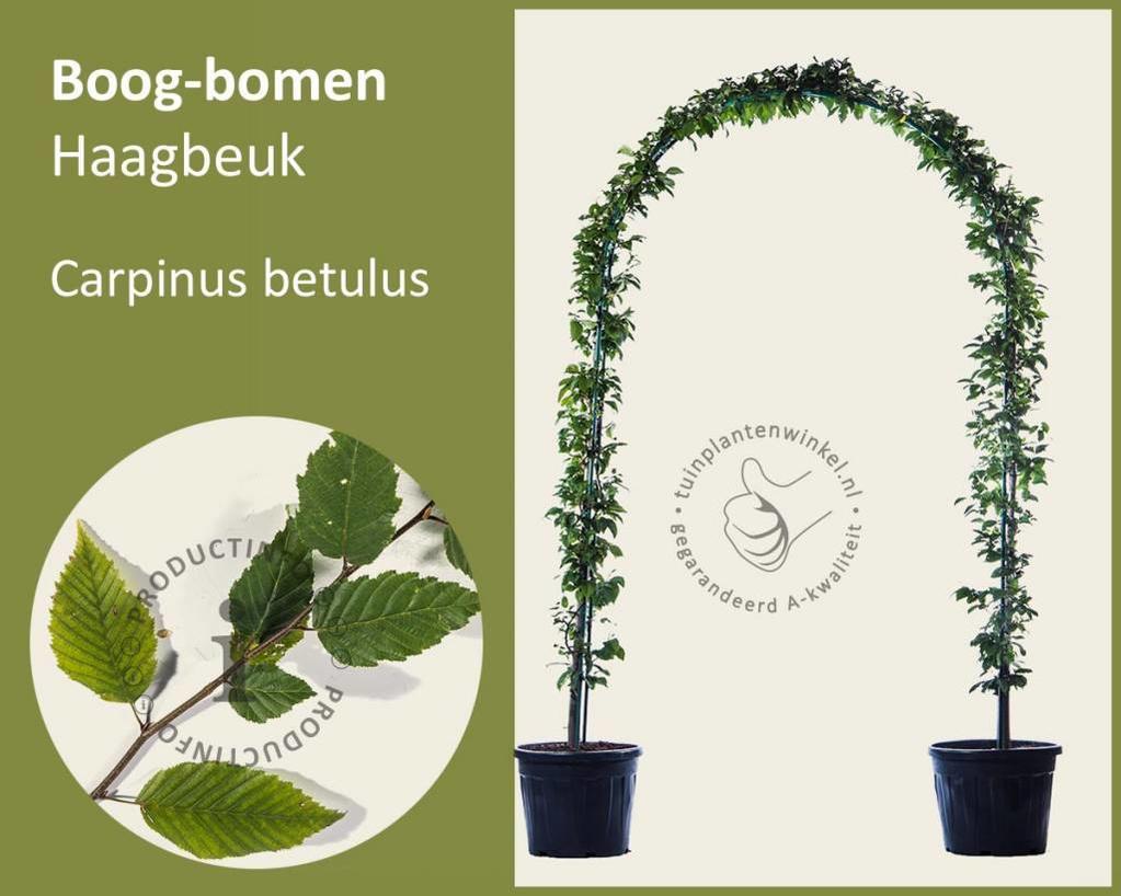 Carpinus betulus - Boogvorm - set