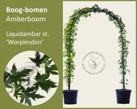 Liquidambar styraciflua 'Worplesdon' - Boogvorm - set