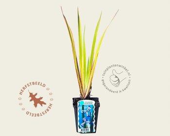 Iris versicolor 'Gerald Darby'