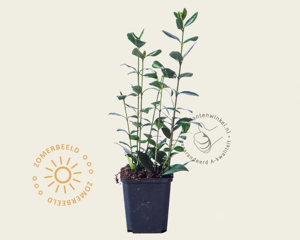 Ligustrum ovalifolium - 020/30 - in pot