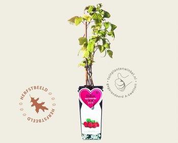 Rubus idaeus 'Autumn Bliss'
