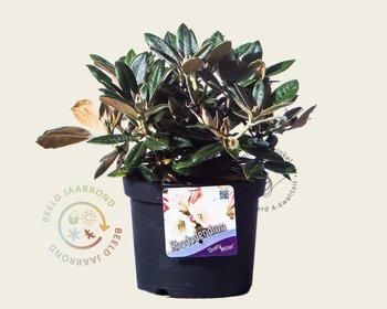 Rhododendron yakushimanum 'Dusty Miller'