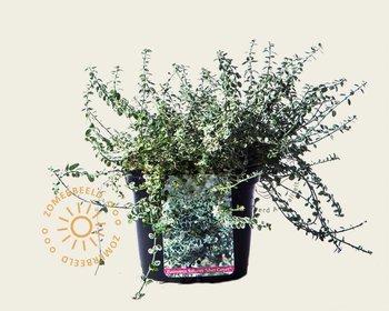 Euonymus fortunei 'Silver Carpet'