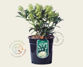 Skimmia japonica 'Godrie's Dwarf Green'