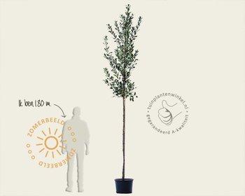 Quercus hispanica 'Wageningen'