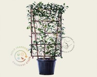 Photinia fraseri 'Red Robin' - In rek 070x120 cm