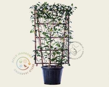 Photinia fraseri 'Red Robin' - In rek 070x120 cm