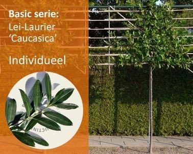 Klik hier om Lei-Laurier 'Caucasica - Basic - individueel te kopen