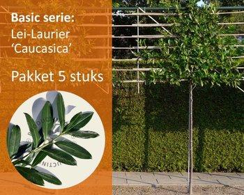 Lei-Laurier 'Caucasica' - Basic - pakket 5 stuks + EXTRA'S!