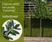 Lei-Laurier 'Caucasica' - Classic - individueel geen extra's