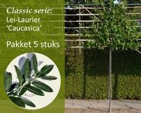 Lei-Laurier 'Caucasica' - Classic - pakket 5 stuks + EXTRA'S!