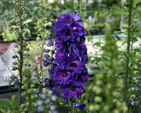 Delphinium pacific 'Black Knight'