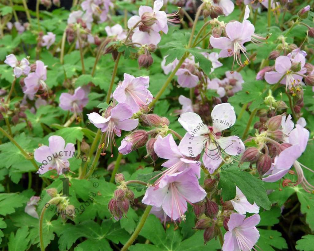 Geranium macrorrhizum 'Ingwersens Variety'